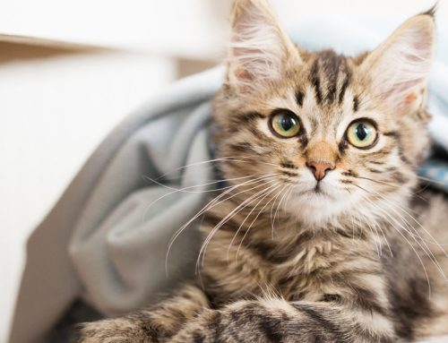 New Hope for Those Who Suffer From Allergies To Cats